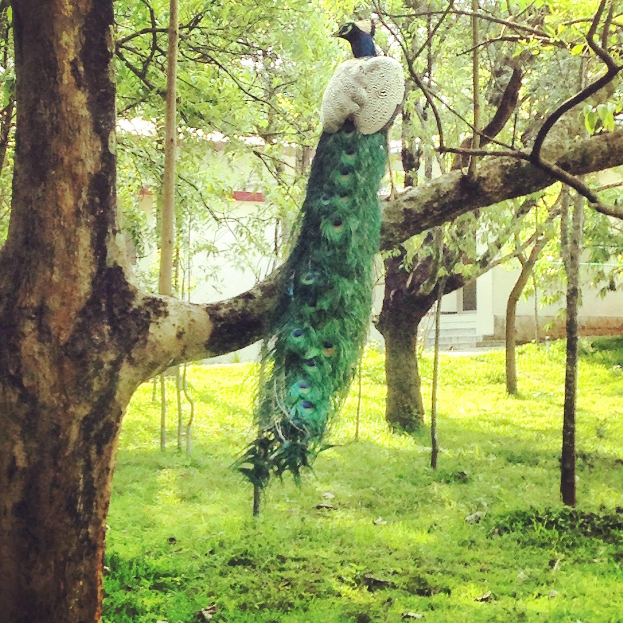 arshakulam peacock